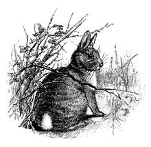 Rabbit/Cottontail Rabbit/Oryctolagus Cuniculus/Sylvilagus, Vintage Illustration