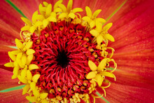 Macro Photo Top View Of The Center Of The Flower With Stamens And Pollen, Copyspace