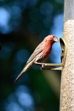 Male House Finch At A Bird Feeder