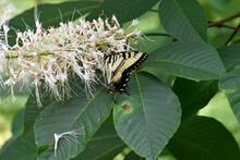 Eastern Tiger Swallowtail Butt...