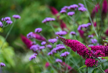 Purple Buddleia Flowers, Butte...