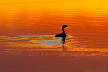 A Lonely Duck Is A Solitary Silhouette On A Lake During An Orange Sunset, Leaving Ripples Behind. The Bird Is Alone On The Water.