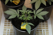 Small Indoor Marijuana Plants Grown Under Metal Halide Bulbs