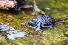 Baby Snapping Turtle On A Rock