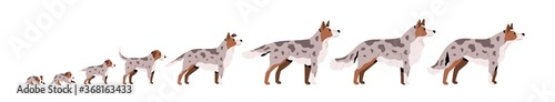 Set of cute puppy, herding dog growth stage, development. Domestic animal growing from cub to adult pet. Mammal life cycle process. Flat vector cartoon illustration isolated on white background © Good Studio