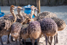 Funny Ostrich On A Farm In A V...