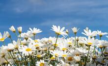 Beautiful Flower In Summer Wit...