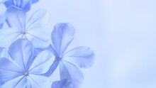 Cape Leadwort Or White Plumbago Flowers With Natural Blurred Background.