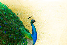 Close Up Of A Beautiful Indian Male Peacock Bird Showing His Colorful Feather Tail. A Postcard With Empty Space For Text