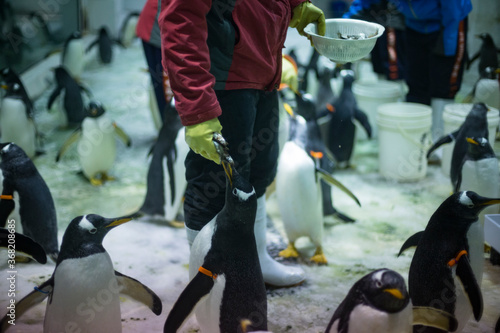 An aquarium keeper feeds penguins in Dalian, Liaoning Province, China Fototapeta