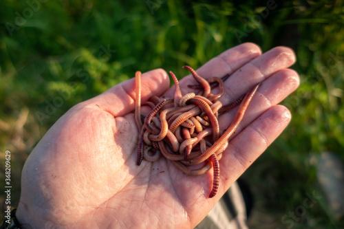 Obraz dżownica robak czerwony ,  red worm - fototapety do salonu