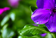 The Dew Drops On The Flowers A...