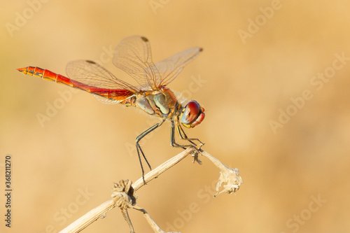 Fotografie, Obraz The red-veined darter or nomad, Sympetrum fonscolombii, dragonfly inn looking for food