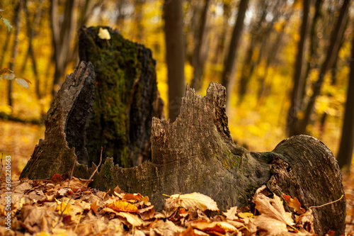 Destroyed stump overgrown with moss in the autumn beautiful forest Canvas Print
