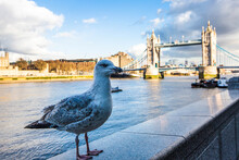 Seagull In Front Of Tower Bridge