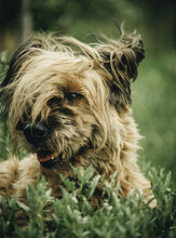 Shaggy Dog Lying On The Grass Head Close-up