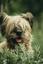 Large Shaggy Dog Lying On The Grass Close-up