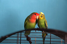 The Moment Of Tenderness Between A Parrots Of Different Species - Budgerigar (parakeet) And Rosy-faced Lovebird. Two Parrots Are Appear As One Is Whispering In Another's Ear