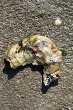 Pazifische Auster (Magallana Gigas),Nordsee,Wattenmeer,Deutschland