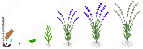 Fototapeta Cycle of growth of a plant of a lavender isolated on a white background. obraz