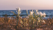 Beach Spider Lily On The Backd...