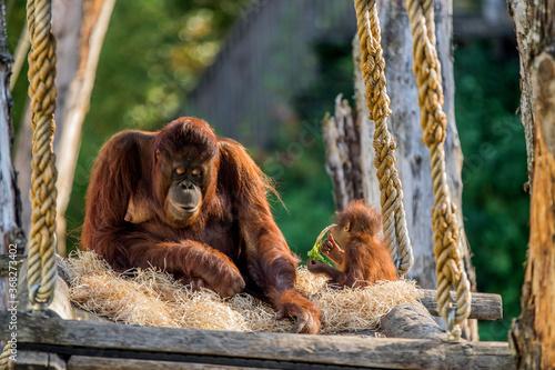 Photo Orangutan With Baby At The Apeldoorn Zoo The Netherlands 2018