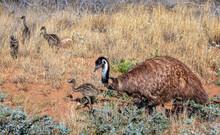 Emu Dad & Chicks Foraging (Dromaius Novaehollandiae) In Western Australia