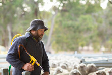Sheep Farmer With A Drench Applicator
