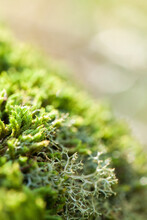 Macro Close Up Of Green Moss And Lichen Plants Covering Rock
