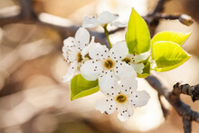 White Blossoms On Bush With Copy Space