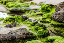 Rocks Covered In Green Seaweed...