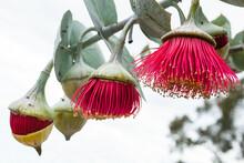 Three Flowering Gumnuts In Dif...