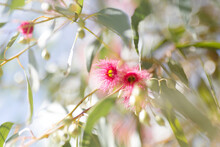 Looking Up At Pink Gum Flowers And Leaves With Sun Flare