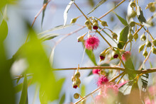 Pink Flowering Gum Tree With Flowers And Leaves