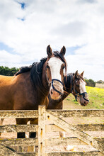 A Pair Of Working Clydesdale Horses Waiting At The Farm Gate