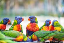 Multiple Colourful Lorikeets C...