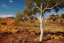 Lone White Ghost Gum Tree In The Outback