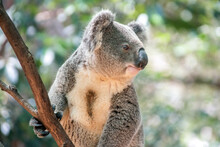 Alert Koala Looking Out In A Tree