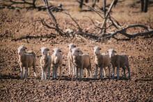 Young Merino Sheep In Drought Paddock
