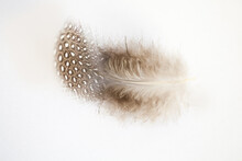 Small Spotted Feather On White