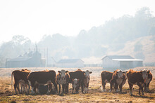 Herd Of Cattle In A Dry Paddock