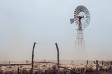 Merino Sheep Mob In Yard In Front Of Wind Mill