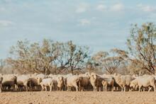 Mob Of Merino Sheep In Dry Paddock