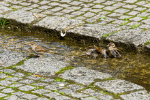 Two Sparrows Bathing In A River