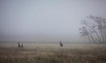 Three Kangaroos Standing In Dr...