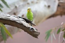 Wild Budgerigar On A Dead Branch Holding A Nest