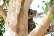 Curious Koala Peeking Around G...