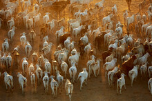 High Angle View Of Herd Of Cattle Walking During Sunrise