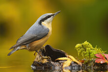 Little Eurasian Nuthatch, Sitt...