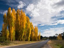 Line Of Golden Poplar Trees Be...